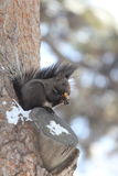 Squirrel. A squirrel works at opening a nut while perched on a tree branch and surrounded by winter snow Royalty Free Stock Photos