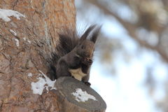 Squirrel. A  squirrel works at opening a nut while perched on a tree branch and surrounded by winter snow Stock Photo