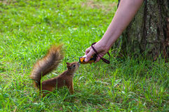Squirrel would consider the action-camera Royalty Free Stock Image