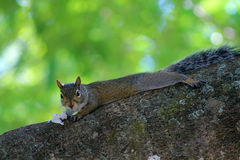 Squirrel and wrapper. Squirrel lying on tree branch eating paper wrapper at local zoo Royalty Free Stock Photography