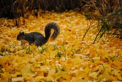 Squirrel in Yellow Grass Stock Image