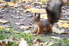 Squirrel on yellow leaves. On grey ground in aa park Royalty Free Stock Images