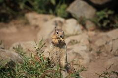 A squirrel in yellow stone royalty free stock images