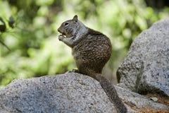 Squirrel in Yosemeite National park Stock Photo
