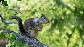 Squirrel, Yosemite National Park. A squirrel on the lookout for other squirrels in Yosemite National Park Stock Photo