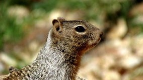 Squirrel, Zion National Park. Macro photo of squirrel shot at Zion National Park in Utah.  Shot during the spring season Stock Photo