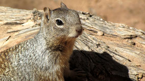 Squirrel, Zion National Park. Macro photo of squirrel shot at Zion National Park in Utah.  Shot during the spring season Stock Image