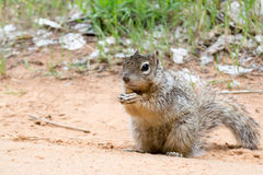Squirrel at Zion National Park Stock Photo