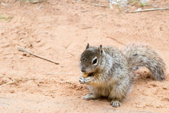 Squirrel at Zion National Park Royalty Free Stock Photo