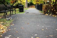 Squirreles nel parco od Tonbridge Risonanza Fotografie Stock Libere da Diritti