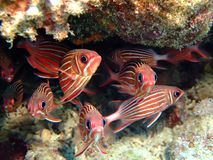 Squirrelfish Lizenzfreie Stockfotos