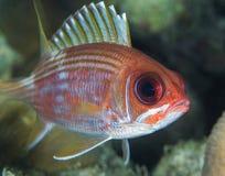 squirrelfish Στοκ Φωτογραφίες