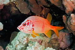 Squirrelfish Royalty Free Stock Photography