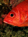 Squirrelfish Stock Photos