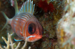 Squirrelfish stock afbeeldingen