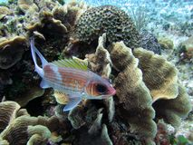Squirrelfish Image libre de droits