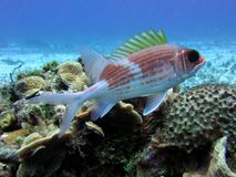 Squirrelfish Fotografia de Stock
