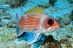 Squirrelfish Arkivfoton