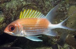 Squirrelfish. Holocentrus adscensions picture taken in south east Florida Stock Image