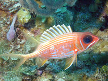 squirrelfish Arkivfoto
