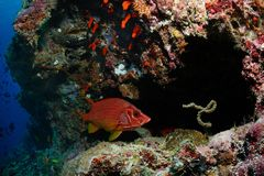 Squirrelfish in cavern Royalty Free Stock Photography