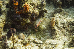 Squirrelfish de Longspine Photographie stock libre de droits
