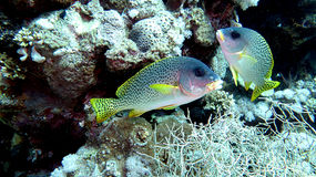 Squirrelfish de sabre Image stock