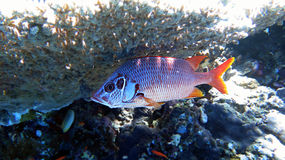 Squirrelfish de sabre Photos stock