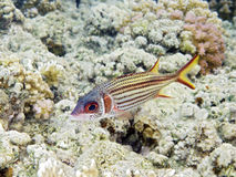 Squirrelfish de Sammara Image libre de droits
