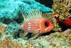Squirrelfish di Longspine Fotografia Stock