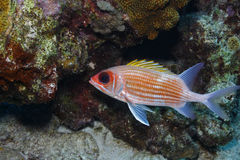 Squirrelfish (Holocentrus adscensionis). In front of reef Stock Photo