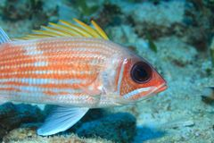 Squirrelfish Stock Image