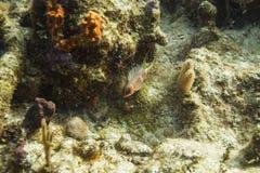 Squirrelfish Longspine Стоковая Фотография RF