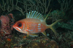 squirrelfish longspine Стоковые Фото
