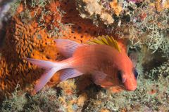 Squirrelfish regardant directement l'appareil-photo. Photo stock
