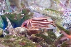 Squirrelfish or Soldierfish Stock Photo