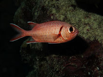 Squirrelfish Stock Images