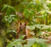 Squirrelin οι θάμνοι στοκ φωτογραφία με δικαίωμα ελεύθερης χρήσης