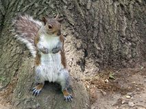 Squirrell. In a local Brooklyn yard Royalty Free Stock Photography