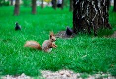 Squirrell en pidgeons royalty-vrije stock afbeeldingen