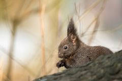 Cute black squirrell. Royalty Free Stock Photos