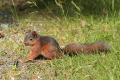 Squirrell rouge Image libre de droits
