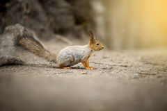 Squirrell Royalty Free Stock Image