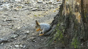 Squirrell Royalty Free Stock Images
