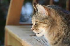Squirrells de observação do intensley bonito do torti do gato malhado fotografia de stock royalty free