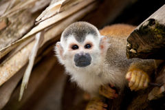 Squirrelmonkey Stock Photo