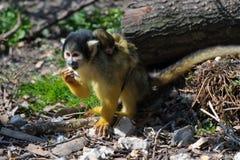 Squirrelmonkey Royalty Free Stock Images