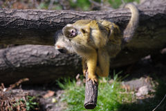 Squirrelmonkey Royalty Free Stock Images