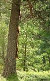 Squirrels a árvore de escalada imagem de stock