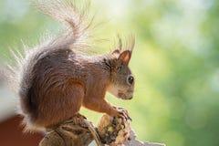 Squirrels конус сосны Стоковое Изображение RF